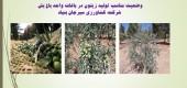 وضعیت مناسب تولید زیتون در باغات واحد باغ بش شرکت کشاورزی سیرجان بنیاد